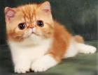 济南哪里出售纯种加菲猫纯种加菲猫价格多少