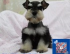 大胡子小老头完美品相的呼和浩特雪纳瑞幼犬出售