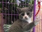 英短纯种 蓝猫 蓝白猫 宠物猫