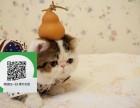 深圳哪里卖加菲猫便宜 深圳哪里卖加菲猫 深圳哪里买加菲猫