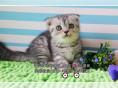 高品质折耳猫CFA高端精品种猫繁殖-品质保证可视频