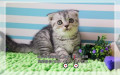 CFA认证猫舍出售折耳宝宝现货实拍保健康