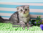 CFA认证专业打造**折耳猫幼猫专业品质签订质保