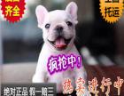 苏州大型狗狗养殖场出售法国斗牛犬幼犬 活签协议
