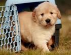 大头金毛幼犬宠物现货金毛狗狗可选购 可直接视频选购