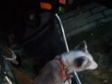 自己养的熊猫雪狐出售