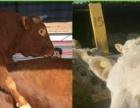 200斤牛犊多少钱一头,山西省哪里有大型养牛场