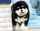 中国专业繁殖双血统阿拉斯加犬舍 可以上门挑选