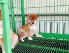 长沙哪里有卖柴犬 日系柴犬多少钱 赤色柴犬好养吗 柴犬犬舍