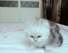 萌萌英短猫咪寻父母