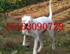 哈尔滨哪里出售杜高犬幼犬,多少钱一只杜高,大骨架杜高价格