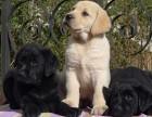 大连哪里卖拉布拉多犬幼犬大连拉布拉多多少钱一只拉布拉多图片