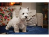 银川哪里卖西高地犬宠物狗价格便宜狗狗健康签协议包纯种