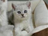 廣東廣州英國短毛貓銀漸層價格