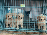 东莞本地 出售金毛幼犬狗狗包健康纯种售后无忧
