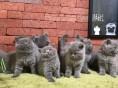 惠州哪里有卖宠物猫 惠州宠物猫价格 纯种宠物猫多少钱