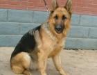 德国牧羊犬 常年销售 包细小犬瘟冠状 包防疫包纯种