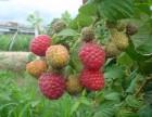 大量出售优质树莓苗,蓝莓苗,灯笼果苗,黑加仑苗,不老莓苗