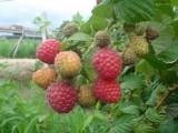 批发零售果园苗圃种植蓝莓苗 红树莓苗 黑加仑苗 红颜草莓苗
