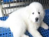 家养一窝纯种大白熊可以签协议 来家里看狗父母