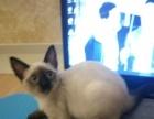 家养纯种暹罗猫母出售