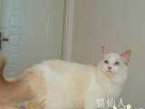 布偶猫 CFA证书蓝双色布偶猫 母猫