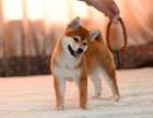 出售日本柴犬幼犬 品相完美保健康 血统纯 可上门