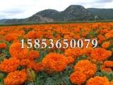 潍坊草花报价——长春花种植基地
