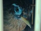 画眉鸟,斗鸟,唱鸟
