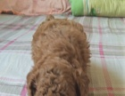 小型泰迪幼犬,品种好