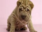 纯种沙皮犬 精品幼犬沙皮 活体宠物沙皮 宠物狗狗