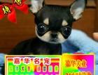 买纯种吉娃娃幼犬/三年联保签协议/赠狗狗户口