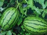 济宁麦茬西瓜种植基地
