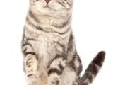 河源正规猫舍出售加菲猫 异国短毛猫