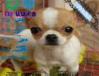纯种哈多利版球体博美幼犬 可爱至极 完善服务