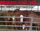 西门塔尔肉牛苗报价多少钱一头