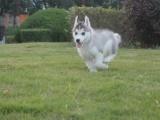 大型犬舍繁殖高品质哈士奇健康有保证欢迎上门