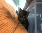 美短猫猫找新家!