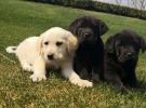 西安狗狗之家长期出售高品质拉布拉多 边境 德牧 柴犬售后无忧
