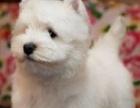 精心繁殖纯种健康赛级西高地成犬母犬聪明活泼可爱签订协议