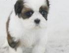 家养三个月幼犬蝴蝶犬好养活出售