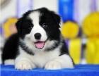 出售纯种边境牧羊犬品质保证公母全有七白三通包健康