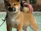 北京犬舍纯种赛级血统阿拉斯加雪橇犬幼犬出售阿拉斯加宠物狗活体