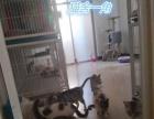精品幼崽渐层虎斑蓝猫种公群对外借配