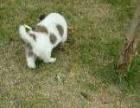 4个月的蝴蝶犬1200元(公)