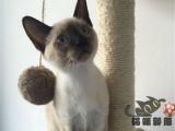 猫舍直销猫舍直纯种家养幼猫散养暹罗猫只待售可上门挑