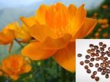 河北坝上批发金莲花种子,金莲花基地,金莲花种子价格