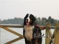 伯恩山犬种公对外借配家养高端赛级伯恩山犬配种