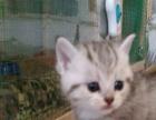 大连美短英蓝猫场纯种高产蓝猫8母回配半价小猫回收繁育首选