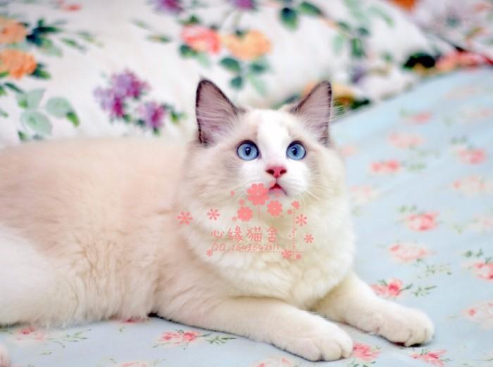 济南哪里有布偶猫卖?布偶猫可以养到多大?